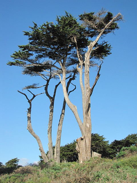 San Francisco Trees