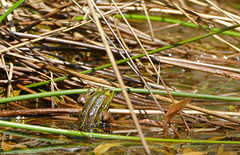 Edible Frog (Pelophylax esculentus) - Photo of Dompierre