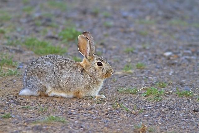 Rabbit _1832