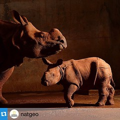 #Repost @natgeo: photo by @joelsartore | Covered in red mud to cool off, an Indian rhino and her baby wait out the heat of the day at the Oklahoma City Zoo. #joelsartore #beautiful #photooftheday #rhino