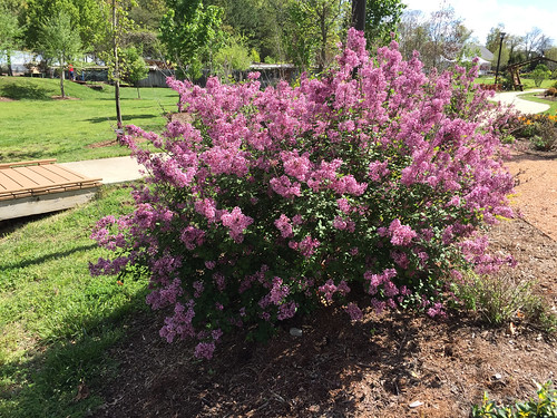 Syringa 'Bloomerang Purple' Bush