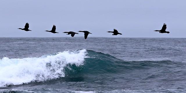Cormorants off the Central California Coast