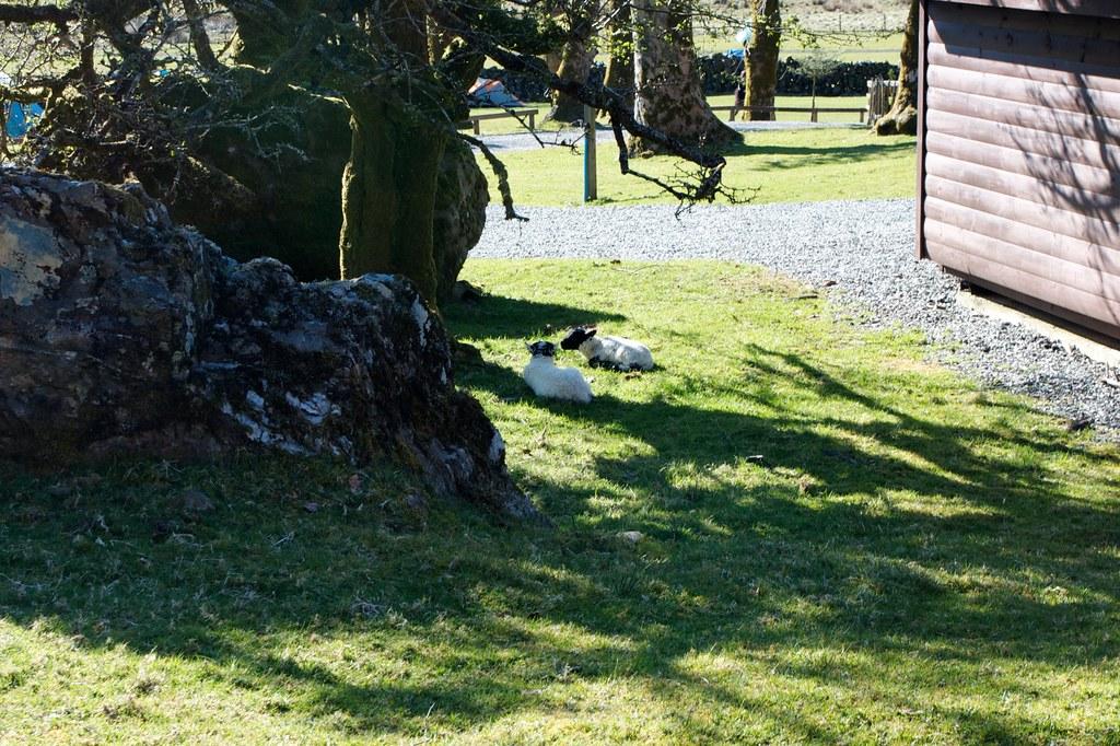 Lambs at Ben Glas Farm