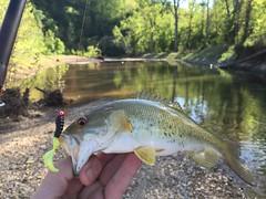 northern pike(0.0), perch(0.0), common rudd(0.0), animal(1.0), bass(1.0), trout(1.0), fish(1.0), fishing(1.0), fish(1.0), recreational fishing(1.0), fauna(1.0),
