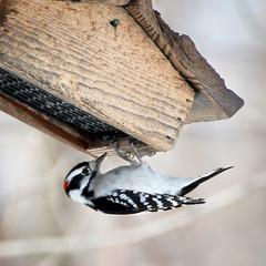 Downy Woodpecker - male