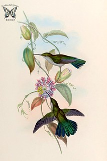 Passiflora laurifolia . A monograph of the Trochilidæ, or family of humming-birds, vol. 2 (1861) [J. Gould & H.C. Richter]