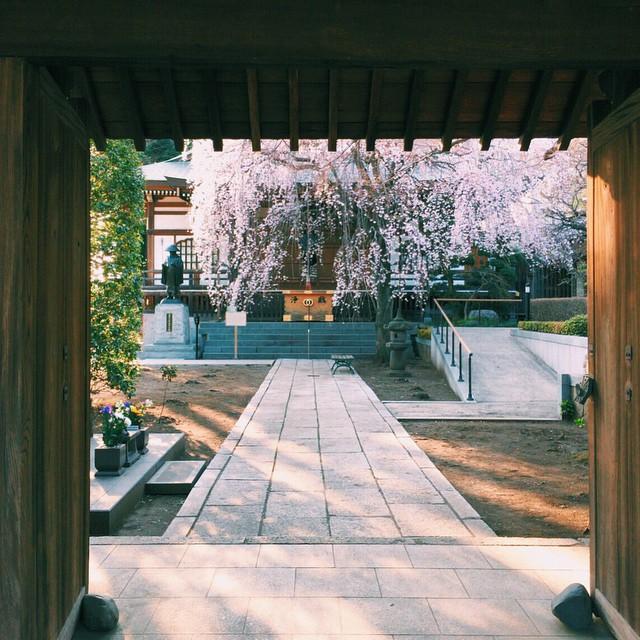 垂れ桜 #桜 #さくら