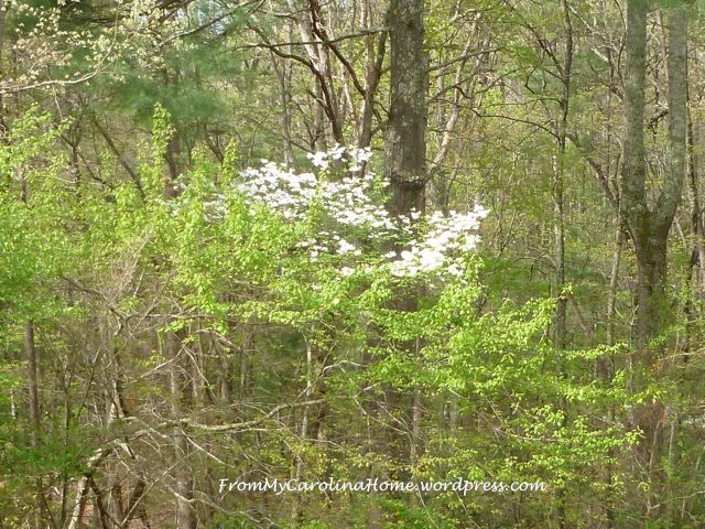 Dogwood April 2015 -