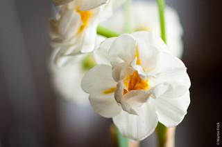 12-52 Spring narcissus
