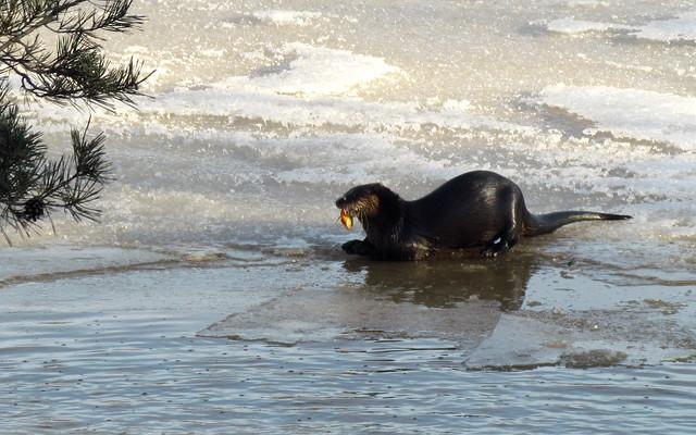 IMG_0943 - River Otter