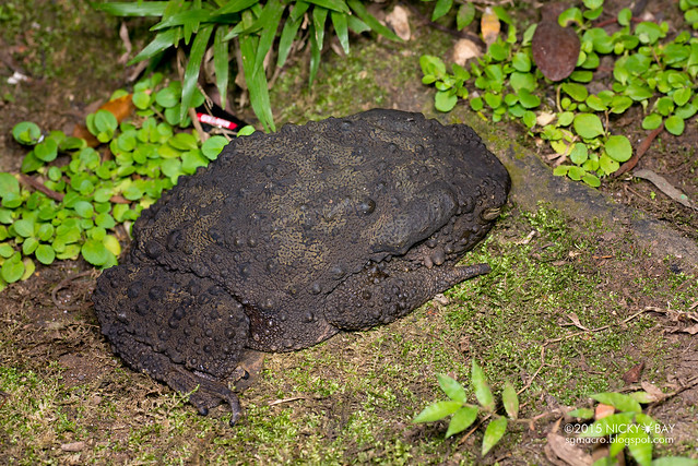 Giant river toad (Phrynoidis juxtasper) - DSC_5038
