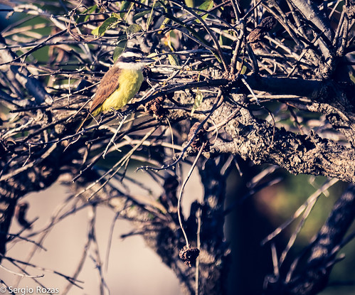 Benteveo /Great Kiskadee (Pitangus sulphuratus)