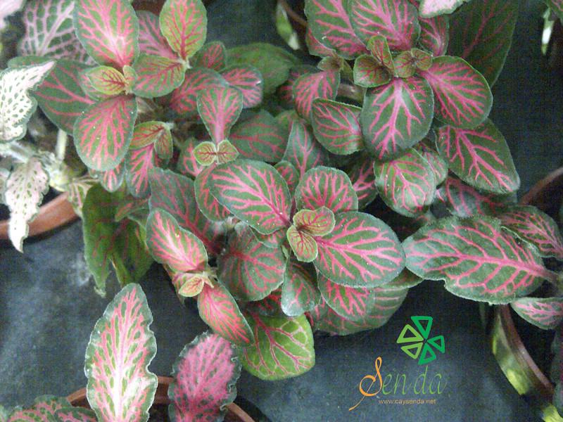 caysenda.com | sen da | xuong rong | tieu canh sen da | art plant | terrarium | la may man
