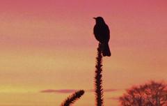 Blackbird at nightfall