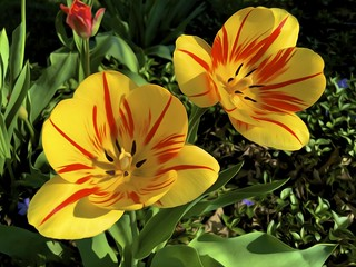 two tiger tulips