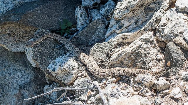 Rattlesnake 2 (Colorado Desert Sidewinder), m198