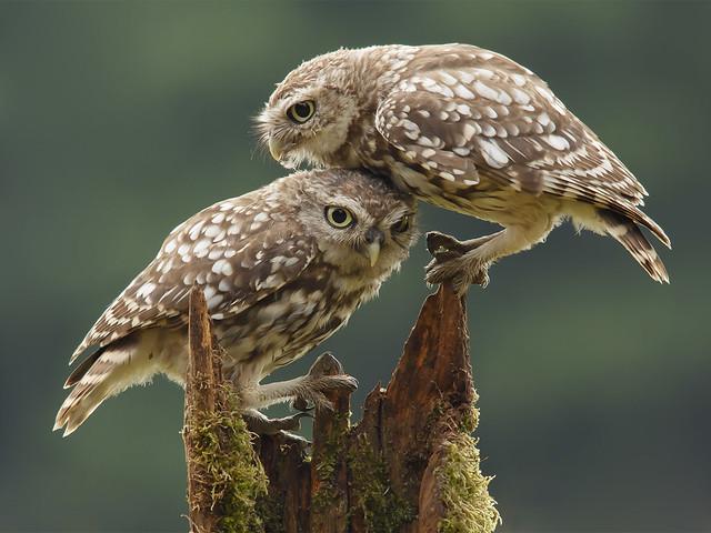 Comforting-Juvenile-Owls_Prashant-Meswani