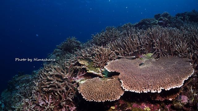 嘉弥真島のサンゴ
