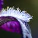 Bearded Iris by Karen McQuilkin