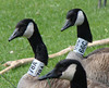 Columbus Canada Geese with Neck Bands 78A & 66C