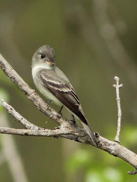 Traills Flycatcher SOOC 4-20150506