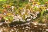 IMG_0735_737 国営昭和記念公園 豆桜 HDR