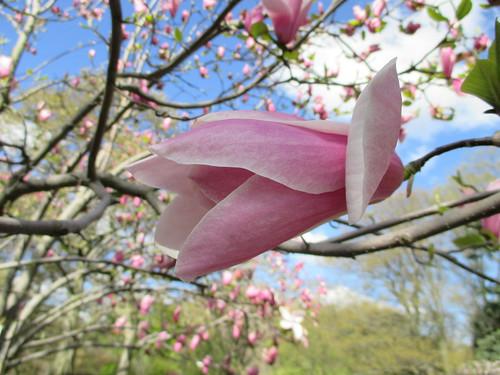 Magnolia 'Big Pink'