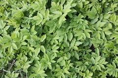 annual plant, shrub, leaf, marjoram, herb, groundcover,