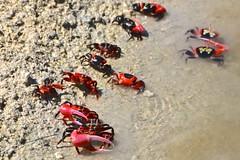 Red Crabs, lagoon, Tarawa, Kiribati