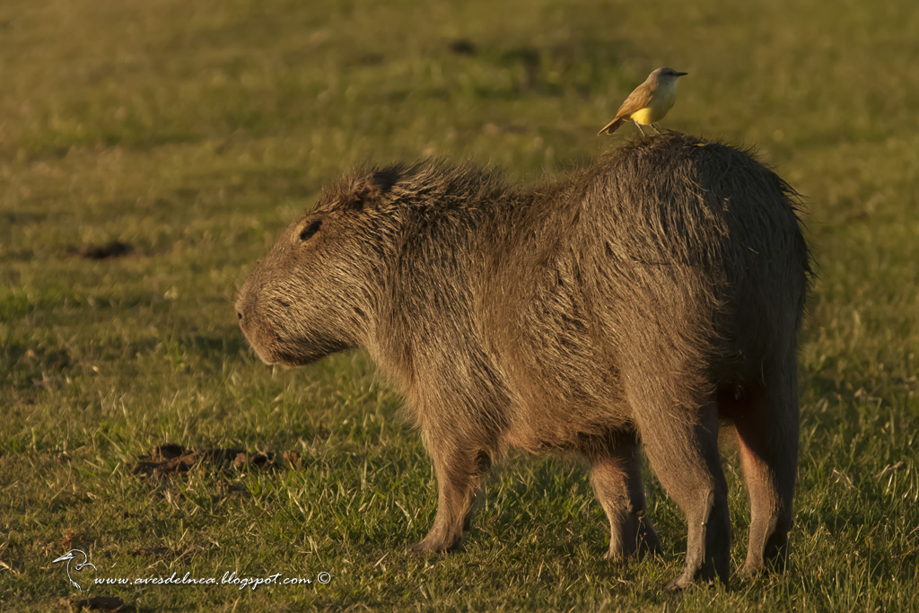 Picabuey (Cattle Tyrant) Machetornis rixosa
