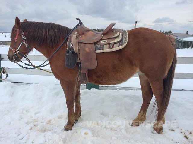 A beautiful Quarter Horse named Faith