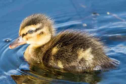 Duckling Mallard
