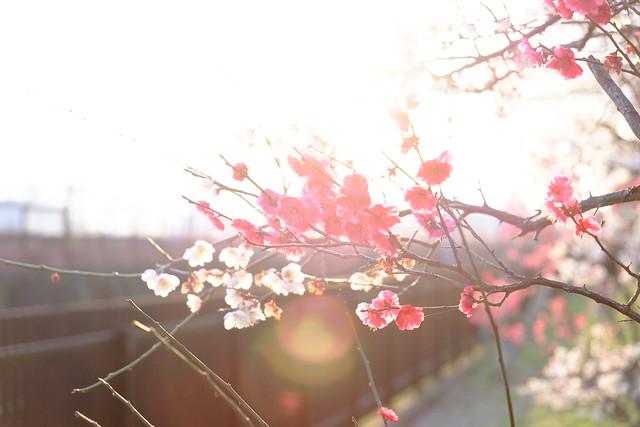 Virágzó szilvavirágok