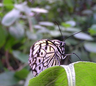 Rice Paper Butterfly--Face Shot