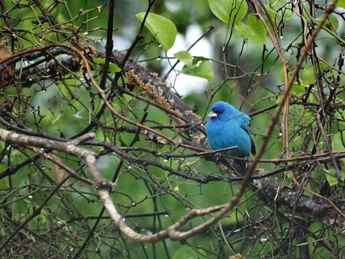 bird spring bunting