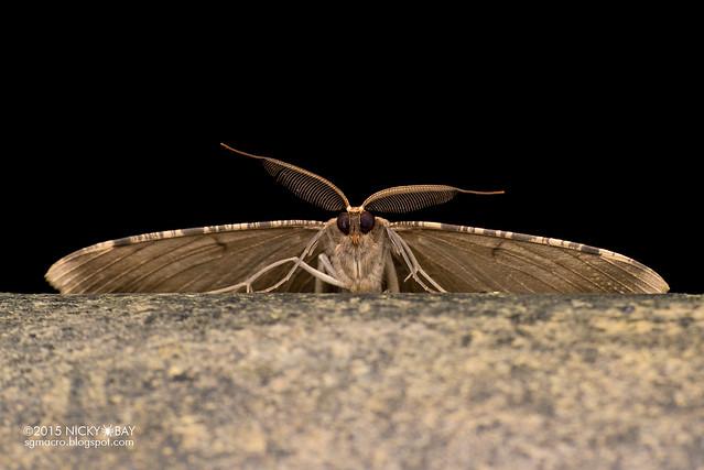 Geometrid moth (Boarmiini) - DSC_5324