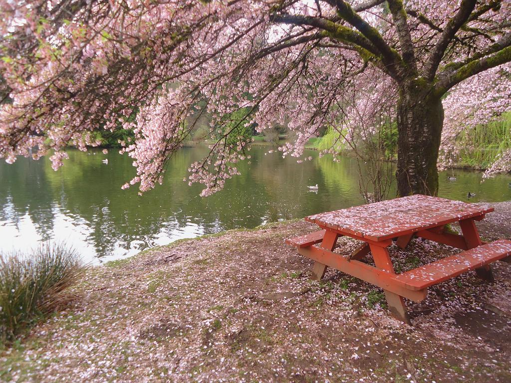 最美当是樱花雨