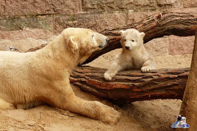 Zoo Rostock Eisbären 28.03.2015  7
