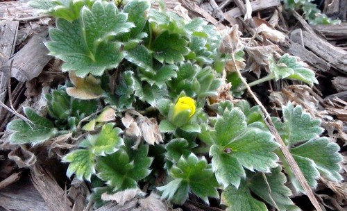 one cinquefoil bud with lots of leaves