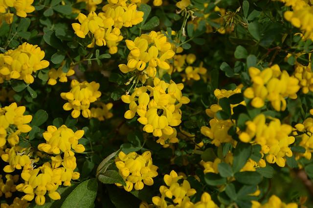 Coronilla glauca (= C. valentina subsp. glauca) - coronille glauque 17028361349_e894c0df64_z