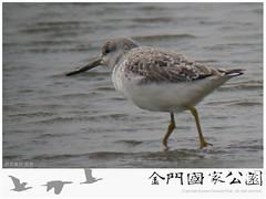 金門水鳥族群研究成果-07