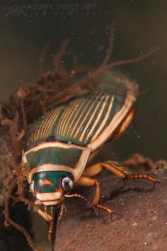 Great diving beetle (Dytiscus marginalis) female, hiding in freshwater red algae (Batrachospermum moniliforme)