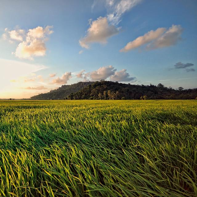 sunset rice field malaysia