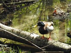 A Duck Near Mt Talbert Nature Park