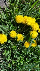 annual plant, dandelion, flower, yellow, plant, sow thistles, flatweed, herb, wildflower, flora, meadow,