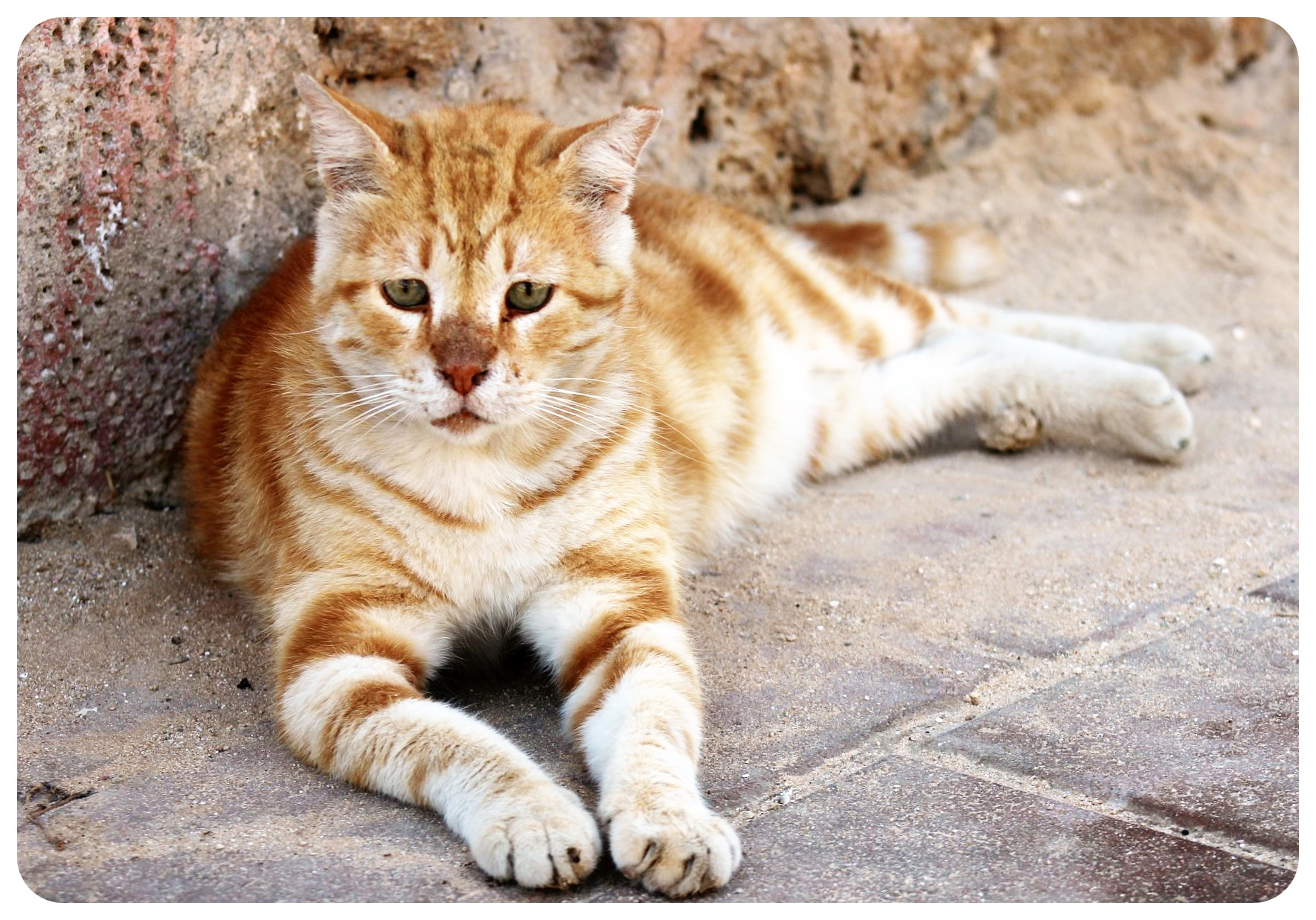 jaffa cat israel