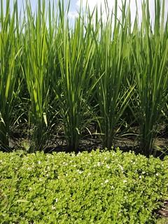 水稻田田埂多樣性植被,營造天敵昆蟲棲地,增加指標物種,更兼具美化景觀的功效。(圖片來源:花蓮農改場提供)