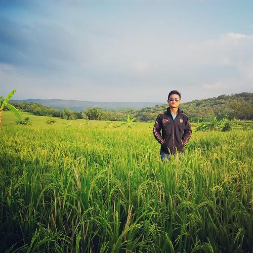 blue sky green padi sawah langit beras kebun rumput