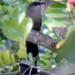 Chestnut-bellied Cuckoo (Tom Mabbett 2016 tour)