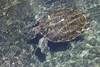 Adult turtles in captivity.